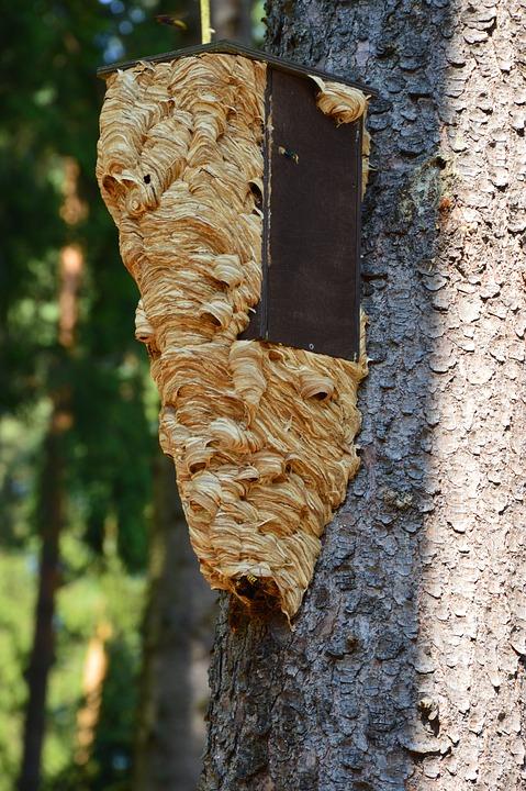 Que faire en présence d'un nid de guêpe ?